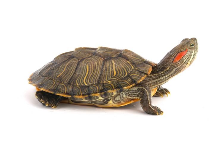 Красноухая черепаха. Внешний вид