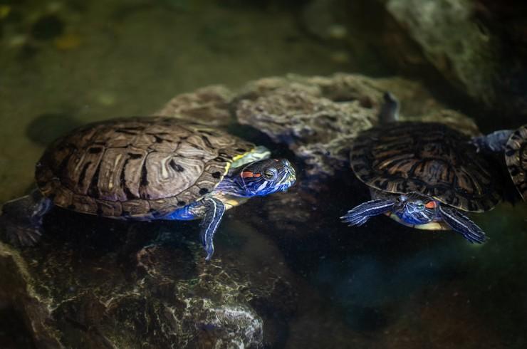 Красноухие черепахи хорошо уживаются со своими сородичами