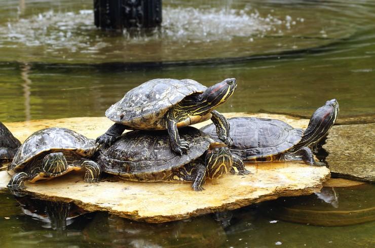 Красноухие черепахи любят создавать живые пирамиды