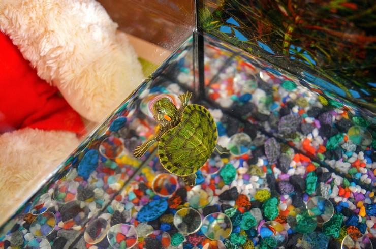 Красноухих черепах необходимо содержать в теплой воде