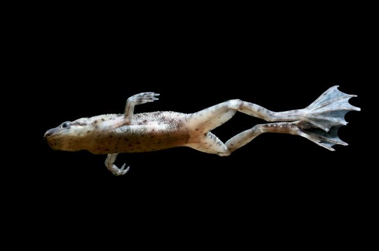 Перепонки на задних лапах помогают лягушкам быстро плавать в воде