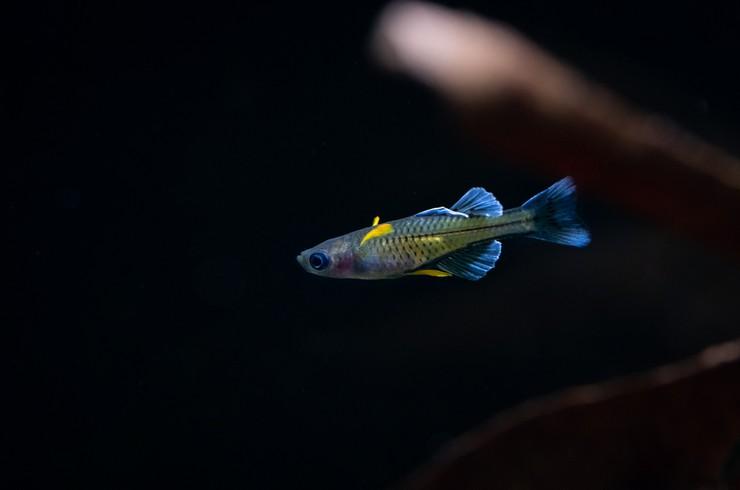 Псевдомугил Гертруды – эффектная рыбка