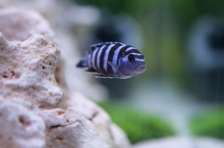 Псевдотрофеус Демасони относится к цихлидам группы Мбуна – «рыбкам, живущим у скал»