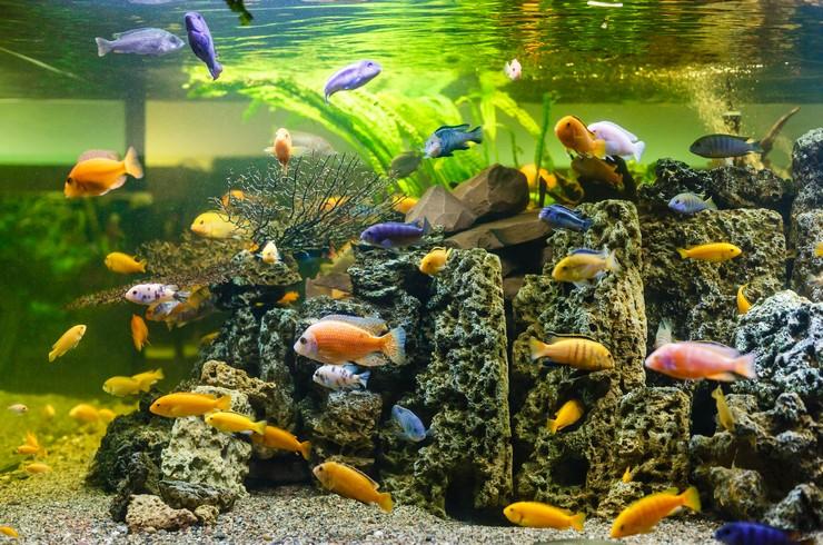 Псевдотрофеусы зебра в общем аквариуме