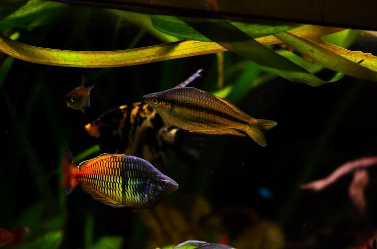 Радужница Боэсмана в общем аквариуме