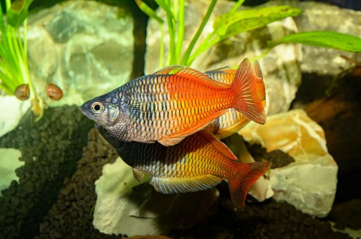 Радужницы Боэсмана – красивые и миролюбивые рыбки