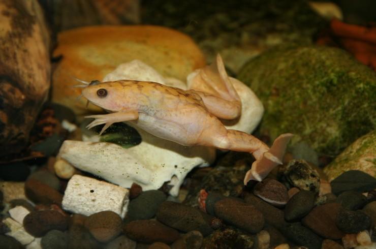 Шпорцевая лягушка – настоящая охотница