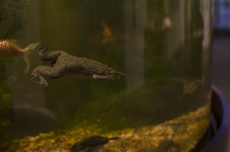 Шпорцевая лягушка в аквариуме