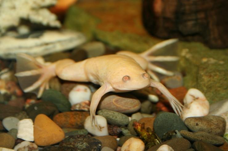 Шпорцевая лягушка ведет водный образ жизни