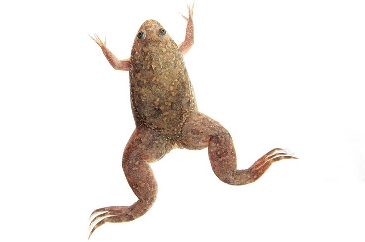 Шпорцевая лягушка. Внешний вид