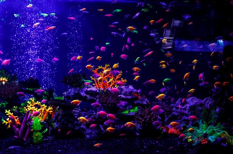 Стайка тернеций глофиш в аквариуме