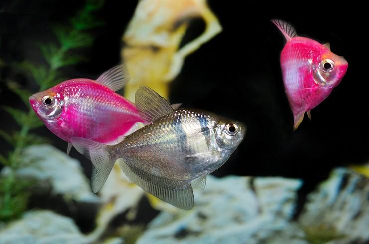 Тернеция глофиш хорошо уживается с любыми мирными рыбками