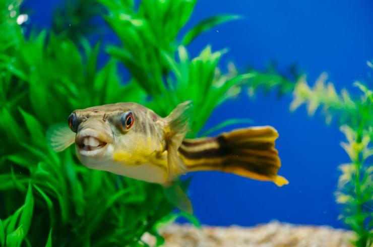 Тетраодон фахака содержится в аквариумах от 200 литров