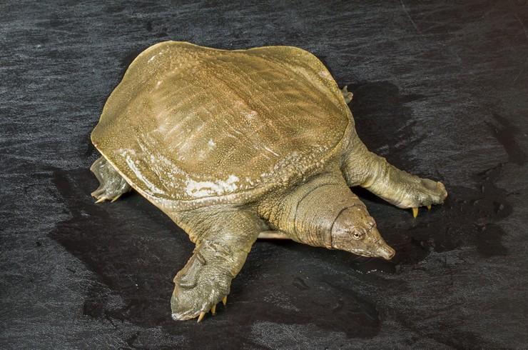 Трионикс, или дальневосточная черепаха