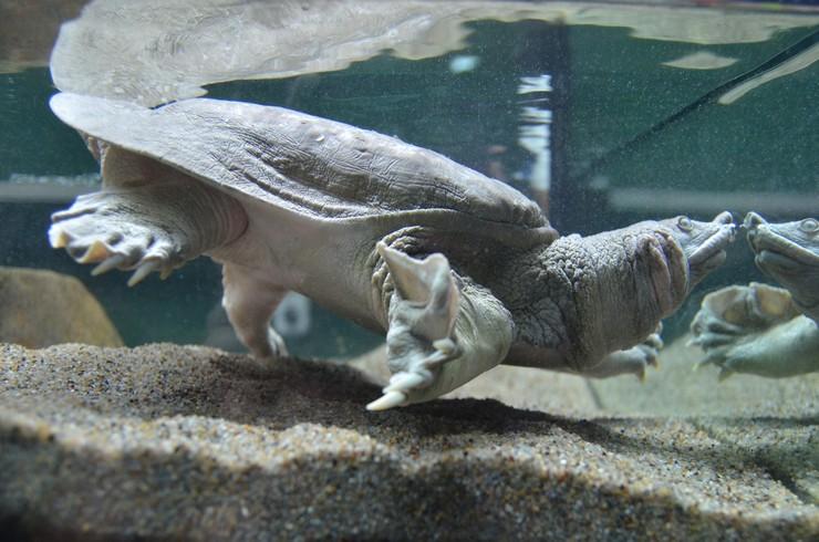 Трионикс китайский в аквариуме
