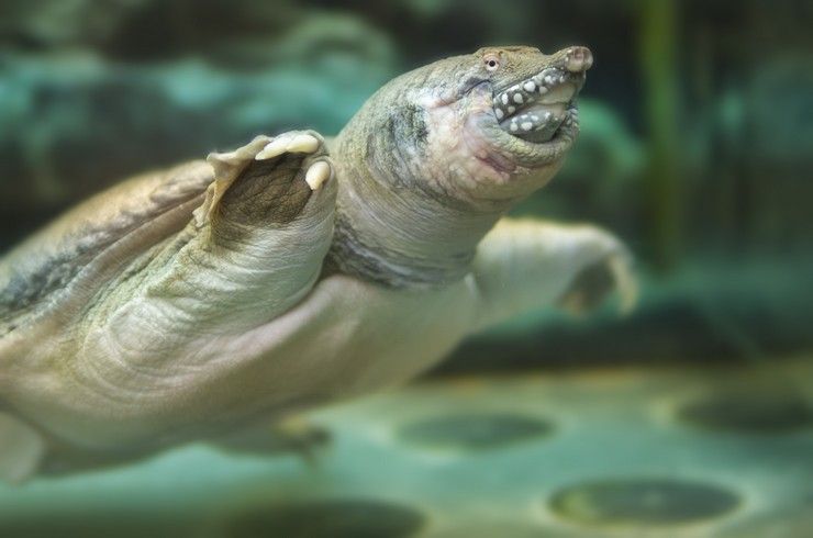 Триониксы – типичные хищники, поэтому не стоит поселять их с мелкими рыбками