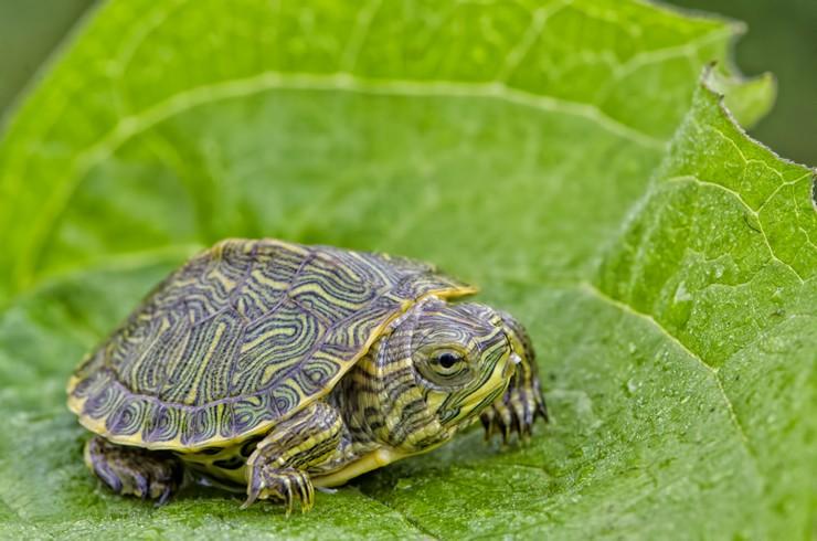Юная красноухая черепаха