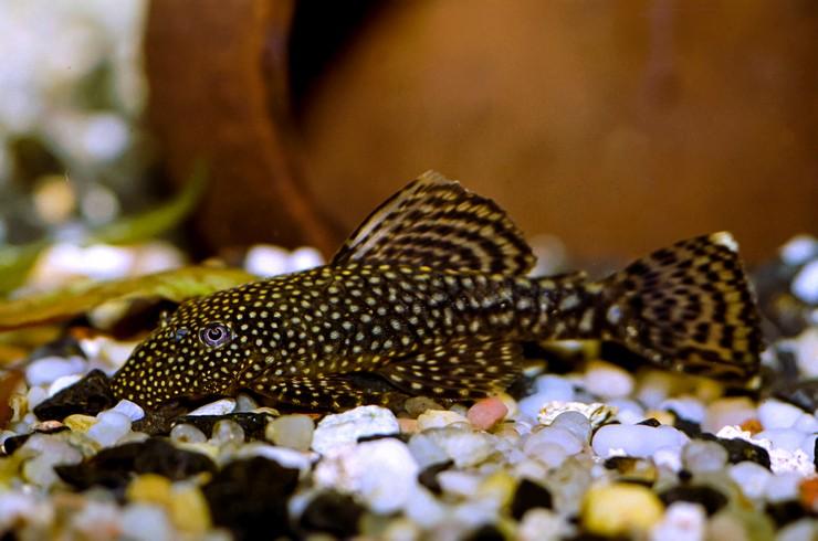 Анциструсы – популярные аквариумные сомики, которых легко развести в домашних условиях