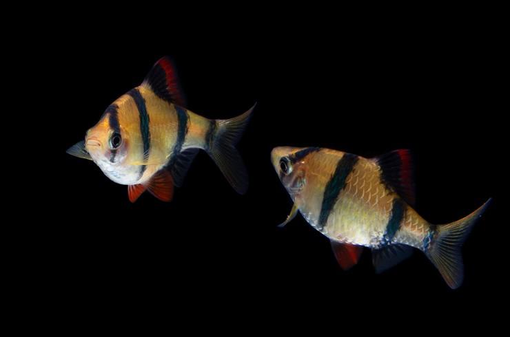Барбусы – достаточно простые в разведении икромечущие рыбки