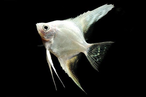 Белые аквариумные рыбки не редкость в аквариумах