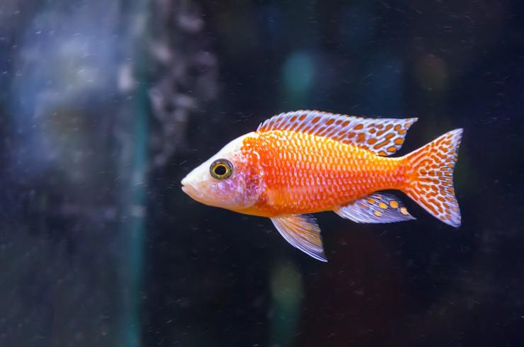 Чем ярче рыбка, тем больше внимания она привлекает