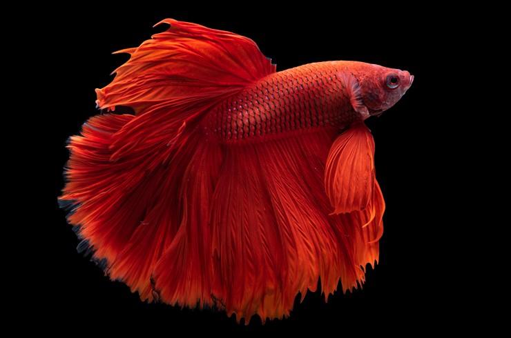 Красные рыбки в аквариуме всегда привлекают внимание