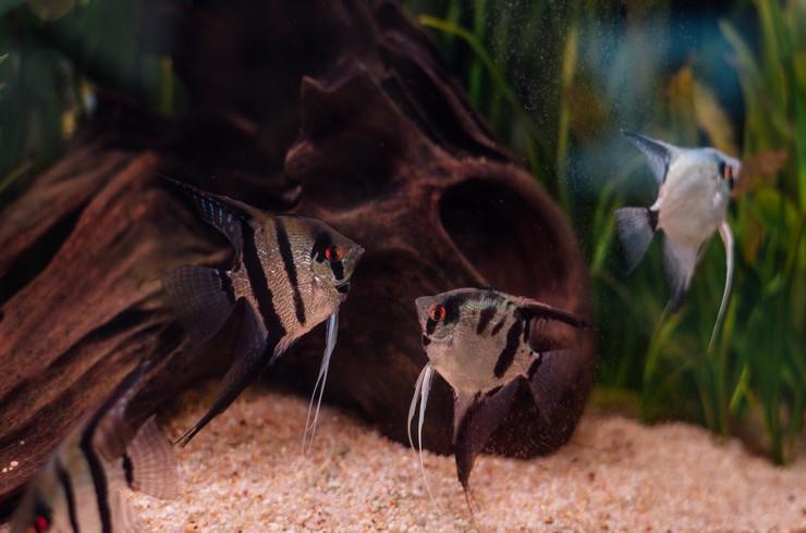 Многие аквариумисты хотели бы развести скалярий у себя в аквариуме