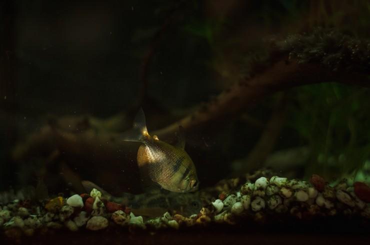 Нерестовый аквариум для тернеций должен быть затенен