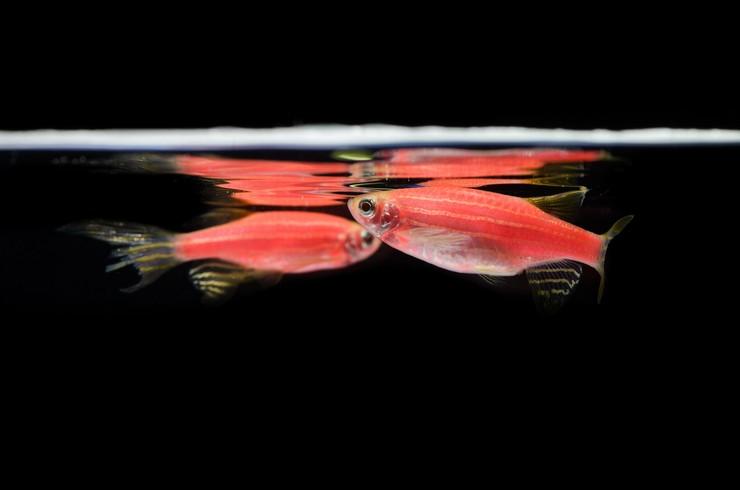 Самцы данио совершают тычки в бок самок, что стимулирует икрометание