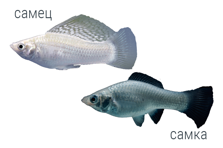 Самец и самка моллинезии