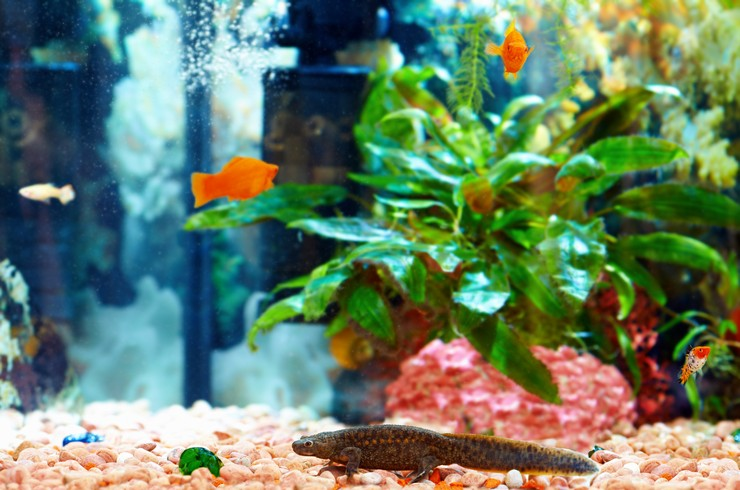 Тритон в общем аквариуме