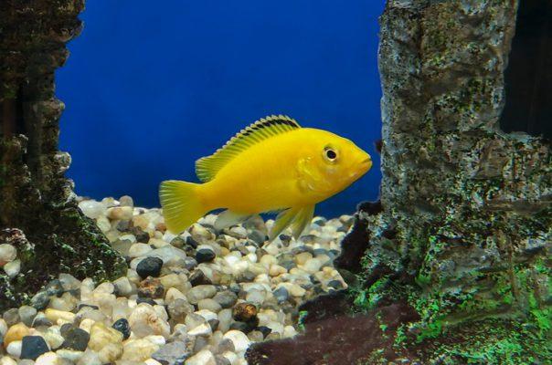 Желтые аквариумные рыбки всегда притягивают взгляд