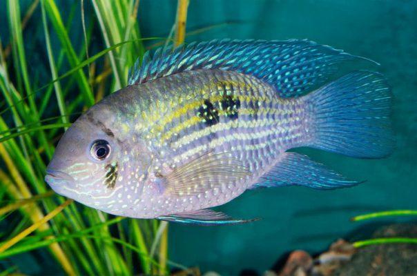 Акара голубовато-пятнистая, или голубая