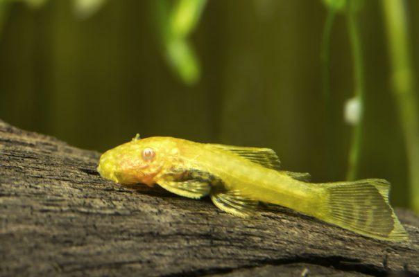 Анциструс золотой (альбинос)