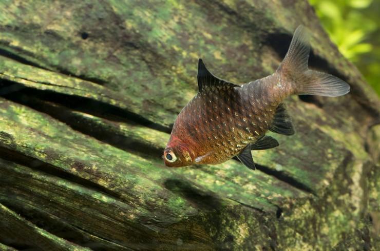 Черные барбусы – красивые и неприхотливые рыбки