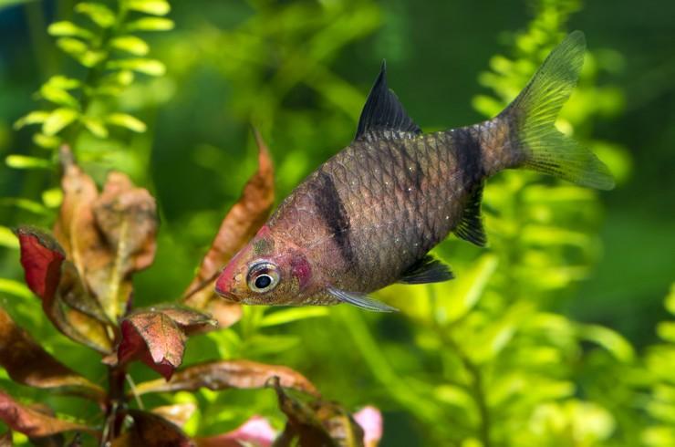 Черные барбусы отлично смотрятся в аквариумах с живыми растениями