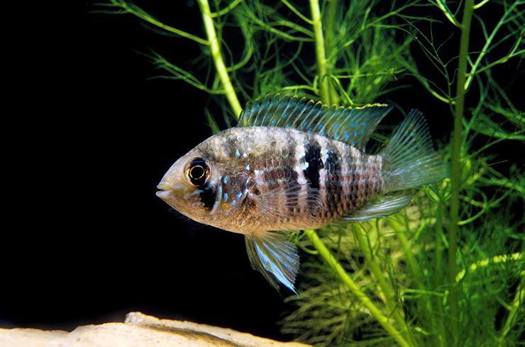 Голубая акара – красивая и неприхотливая в уходе рыбка