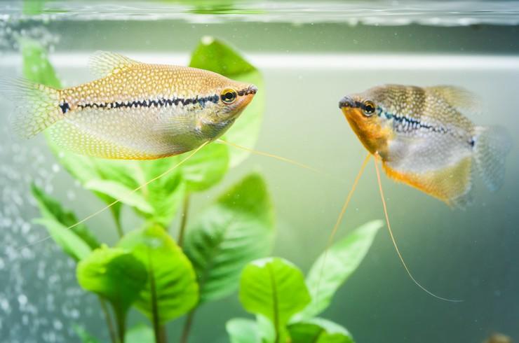 Гурами – лабиринтовые рыбки, любимые аквариумистами по всему миру