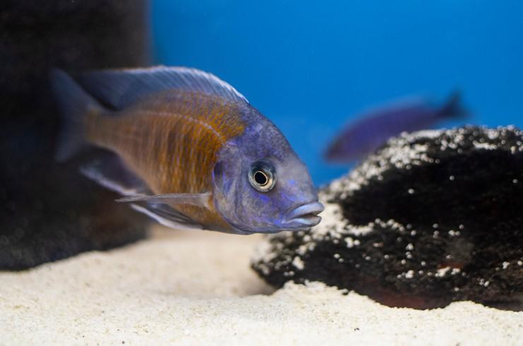 Копадихромис Каданго в аквариуме