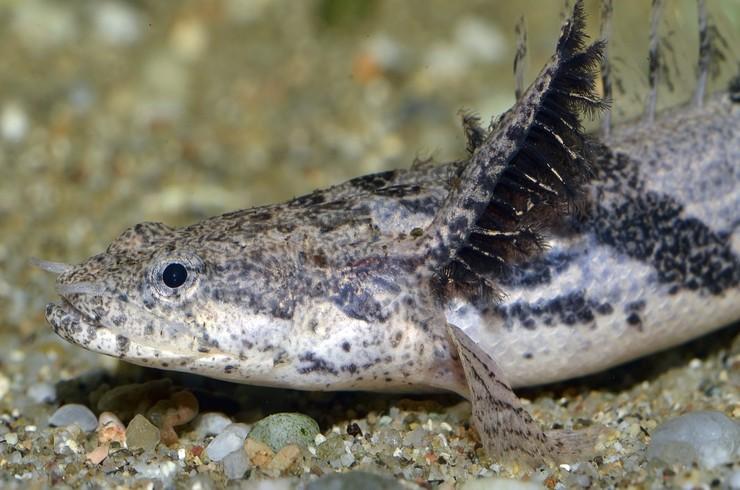 Личинки полиптерусов Эндлихера имеют наружные жабры