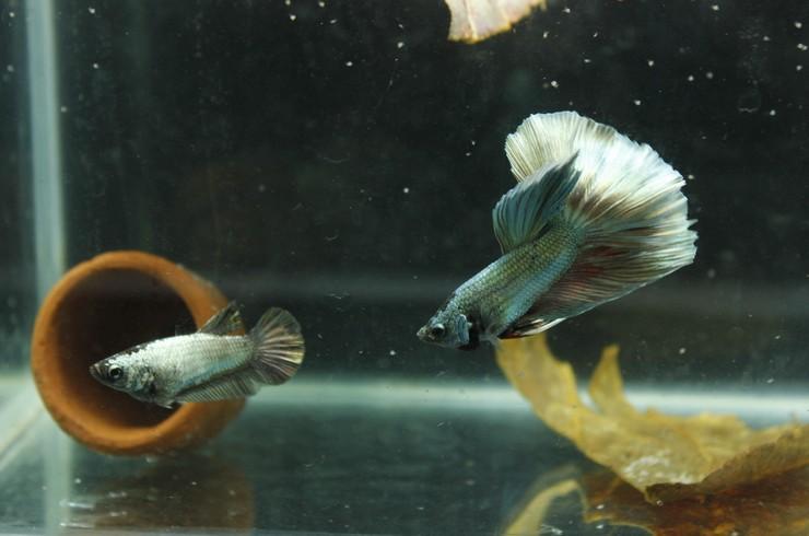 Пара петушков в нерестовом аквариуме