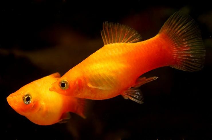 Пецилия – популярная живородящая рыбка