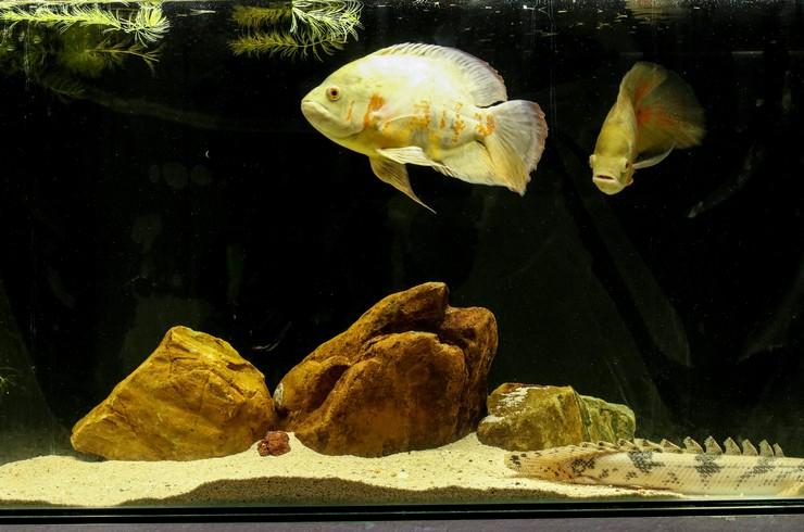 Полиптерус Эндлихера в аквариуме с астронотусами