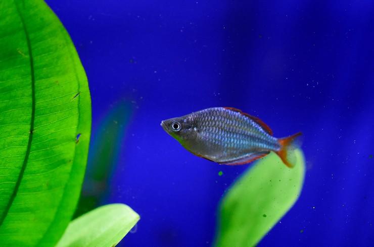 Радужница неоновая – миниатюрная рыбка