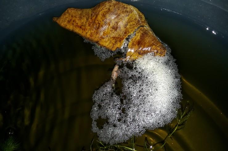 Развитие икры у петушков происходит в гнезде из пузырьков, которое сооружает самец