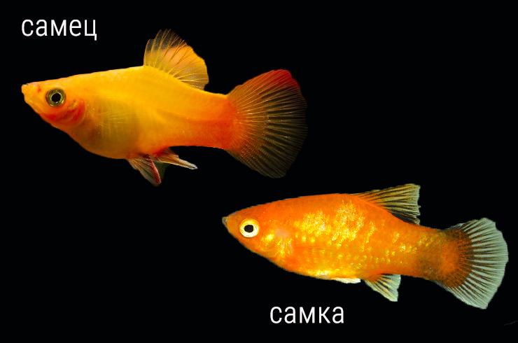 Самец и самка пецилии