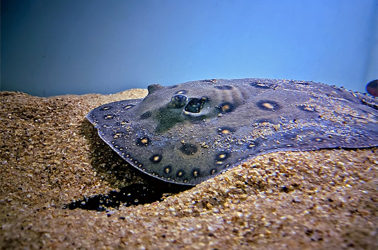 Скаты моторо предпочитают питаться на дне аквариума