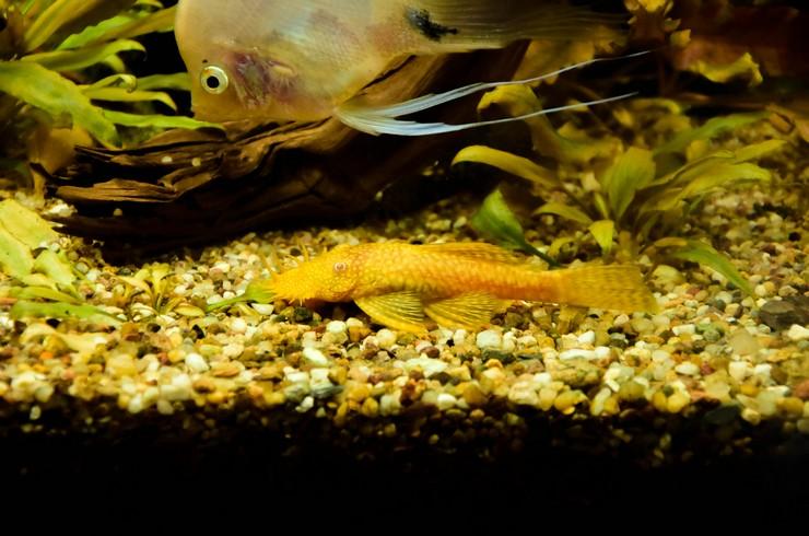 Золотой анциструс в общем аквариуме
