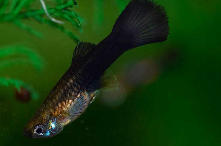 Черные гуппи хорошо смотрятся в аквариумах с живыми растениями