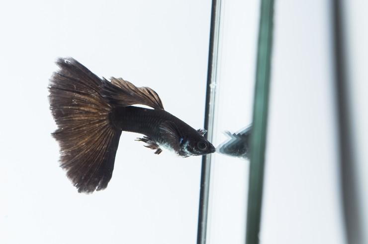 Черные гуппи – красивые и неприхотливые рыбки